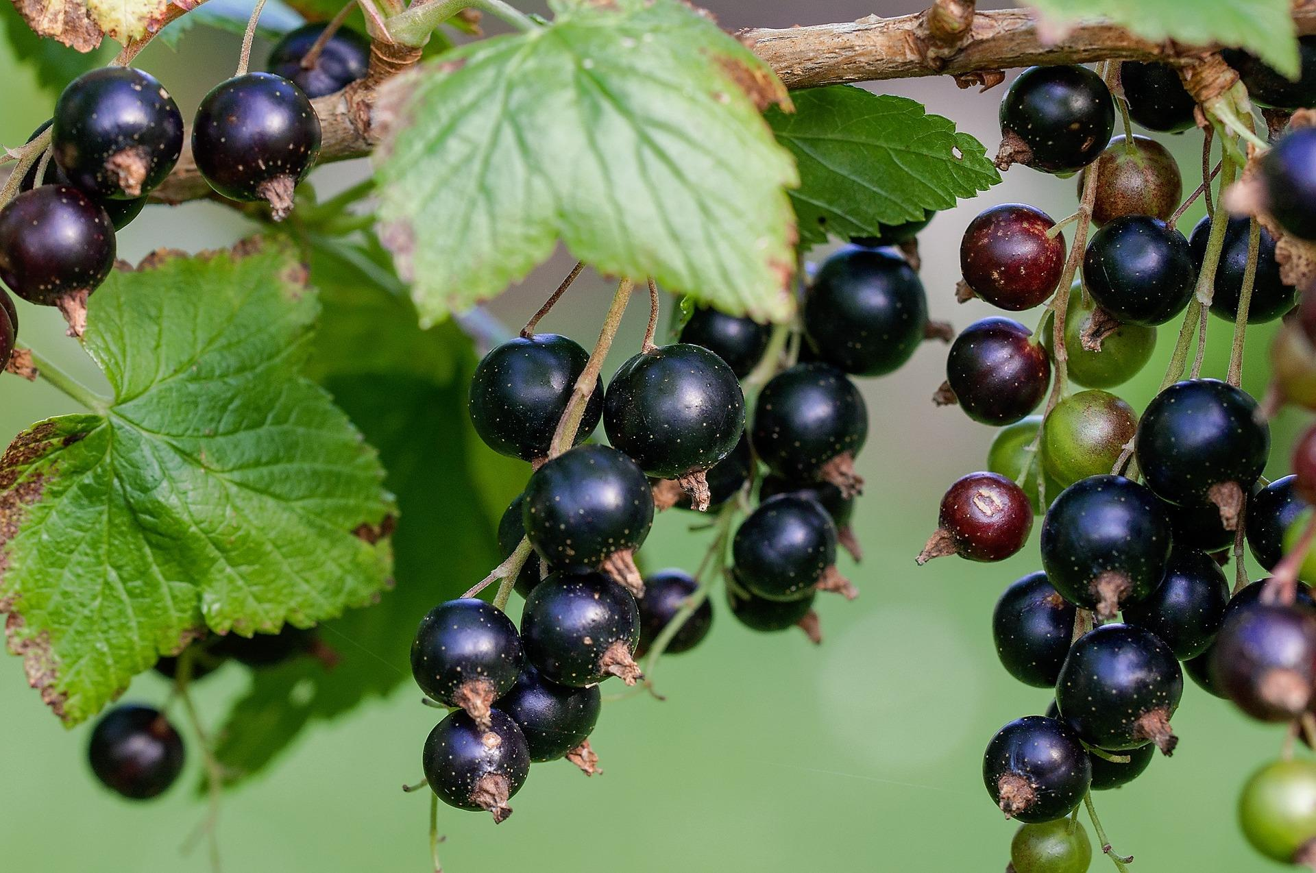 black currant oil weight loss