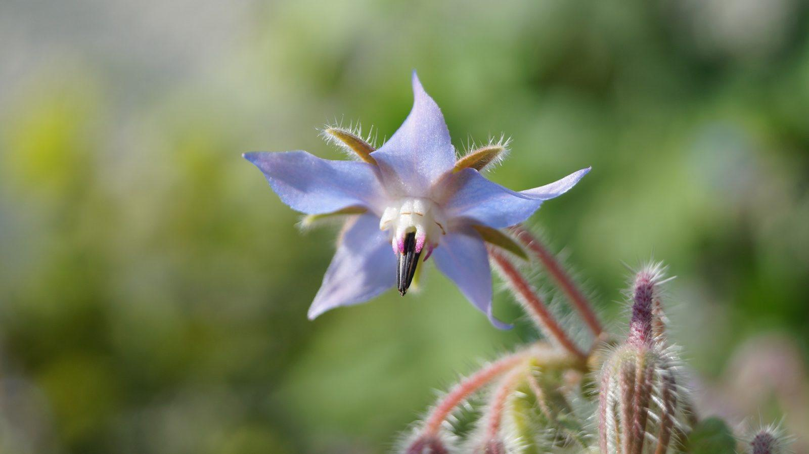 borage oil health benefits