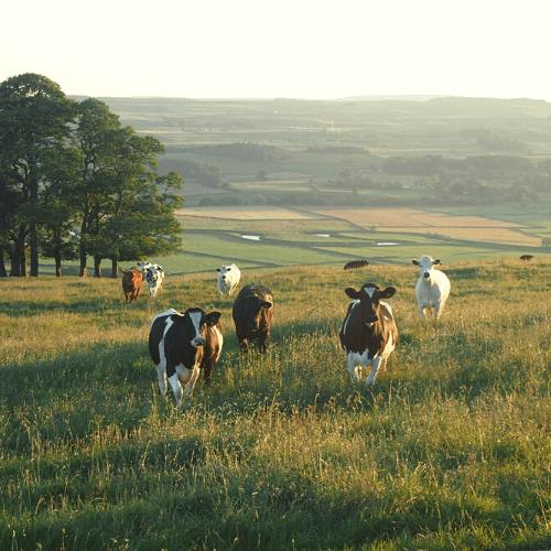 Colostrum Baby cows